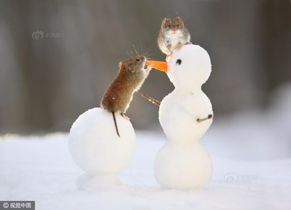 萌化!馋嘴田鼠吃掉雪人